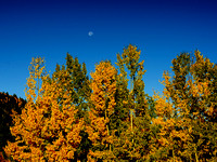 Aspens and the Moon
