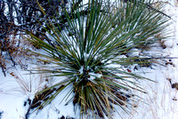 Yucca in the Snow