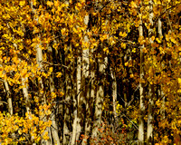 17. Aspens on Boreas Pass, Colorado, 18 September, 2014